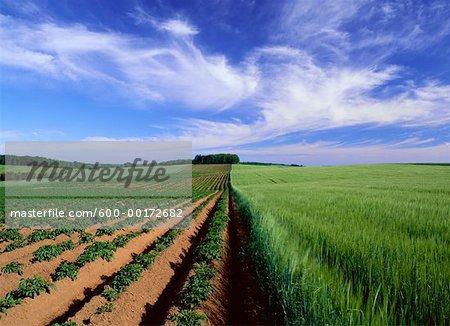 Pomme de terre et les champs d'orge, près de Pleasant Valley, Prince Edward Island, Canada