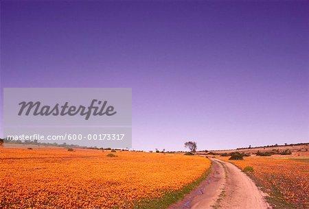 Fleurs sauvages, Karkhams, Afrique du Sud