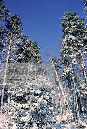 Neige sur les arbres sur fond de ciel bleu, personne de Bluff, Nouveau-Brunswick, Canada