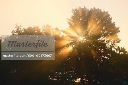 Sun Through Trees, Jemseg, New Brunswick, Canada