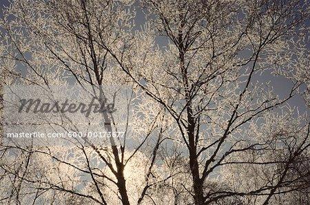 Rétro-illuminé de givre sur les arbres de bouleau, Bluff, Nouveau-Brunswick, Canada de personne