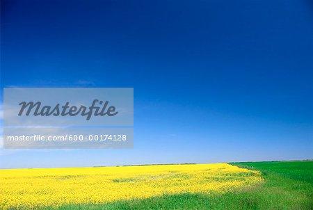 Canola Field, Rural Alberta, Canada