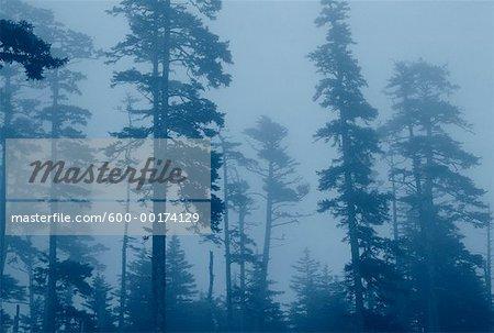 Arbres au brouillard Reine-Charlotte, Colombie-Britannique, Canada