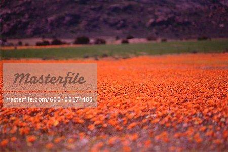 Champ de fleurs sauvages, Namaqualand, Afrique du Sud