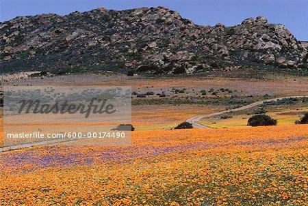 Fleurs, Namaqualand, Afrique du Sud