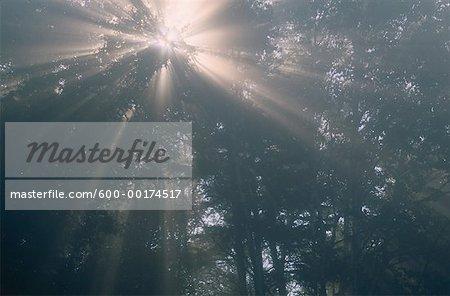 Des rayons de soleil et de la brume dans la forêt, Bluff, Nouveau-Brunswick, Canada de personne