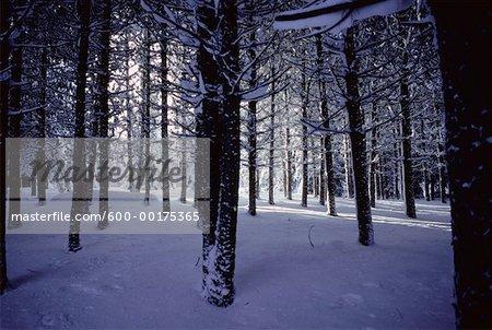 Snowy Forest, Ontario, Canada
