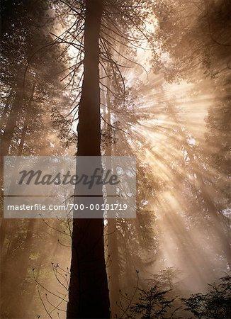 Des rayons de soleil dans la forêt de Prairie Creek Redwoods State Park, Californie, Etats-Unis