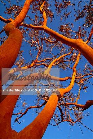 Arbre Nitmiluk National Park Australie