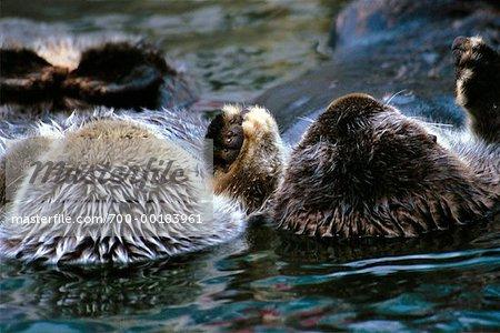 Otter schlafen