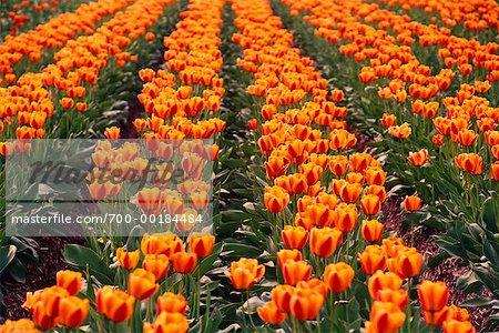 Champ de tulipes vallée du Fraser en Colombie-Britannique, Canada