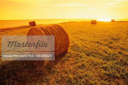 Bottes de foin dans les champs