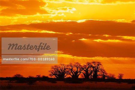 Parc National de baobabs arbres Nxai Pan Botswana