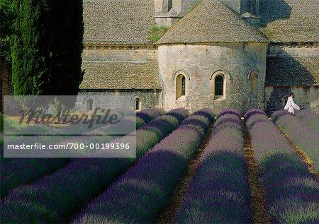 Monk and Lavender at Abbaye de Senanque Provence, France