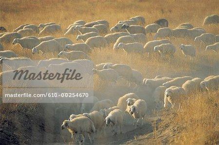 Turquie, Cappadoce, troupeau de moutons