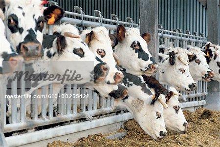 Élevage de bovins de Normandie, Granville, France