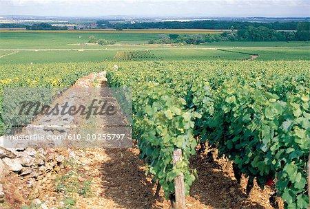 Vignoble de Côte de Nuits, Bourgogne, France,