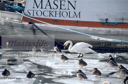 Sweden, Stockholm, Swan and ducks on frozen sea