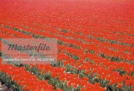 Aux pays-bas, champ de tulipes rouges