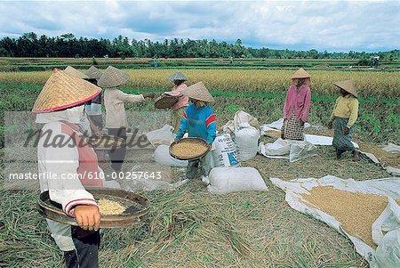 Femmes d'Indonésie, Bali, riz de culture