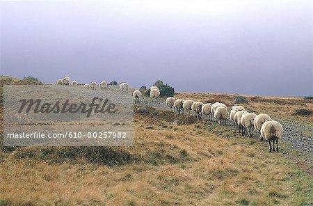 Moutons de France, Auvergne, le massif du Sancy