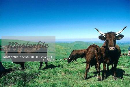 France, Auvergne, Salers cows