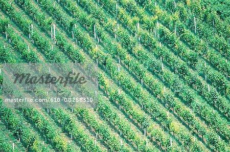 Croatie, région viticole Pljevisica