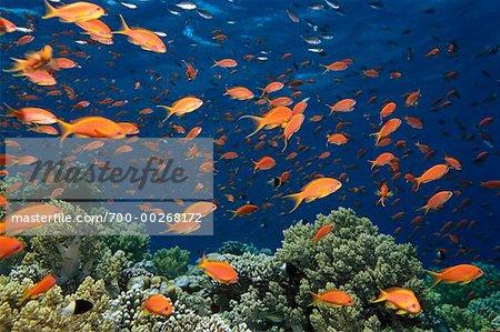 Anthias poissons et coraux