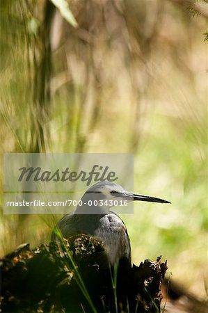 Tête blanche Heron territoire du Nord, Australie