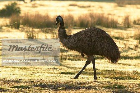 Emu in Field Wilsons Promontory National Park Victoria, Australia