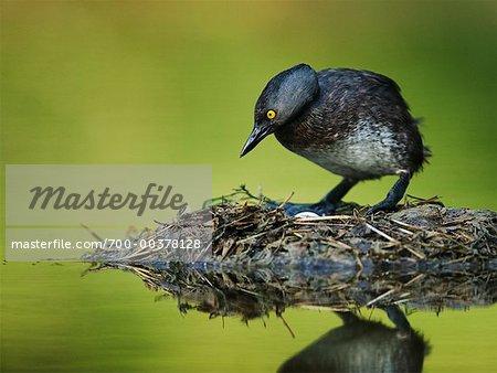 Grèbe moins debout sur le nid