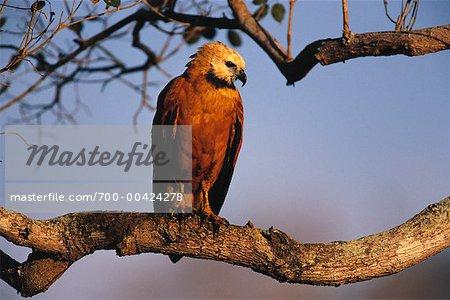 Black Collared Hawk on Branch, Pantanal, Brazil