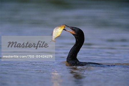 Cormorant avec poisson, Pantanal, Brésil