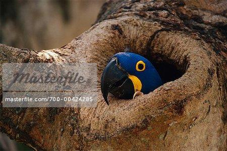 Hyacinth Macaw in Tree, Pantanal, Brazil