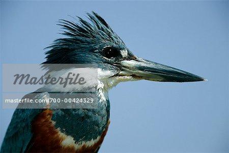 Kingfisher annelé, Pantanal, Brésil