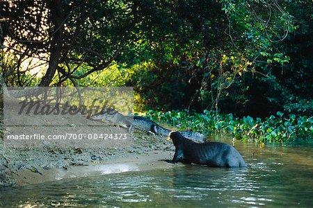 Giant River Otter and Cayman, Pantanal, Brazil