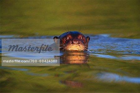 Loutre de rivière géant, Pantanal, Brésil