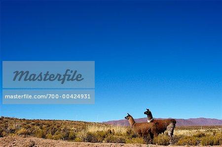 Lamas, Puesto del Marques, Abra Pampa, Province de Jujuy, Argentine