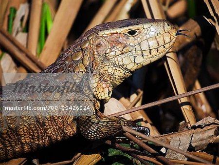 Paraguayan Caiman Lizard, Mato Grosso, Pantanal, Brazil