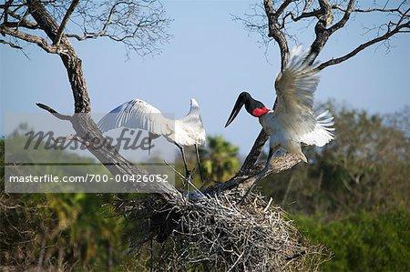 Jabiru Storks at Nest