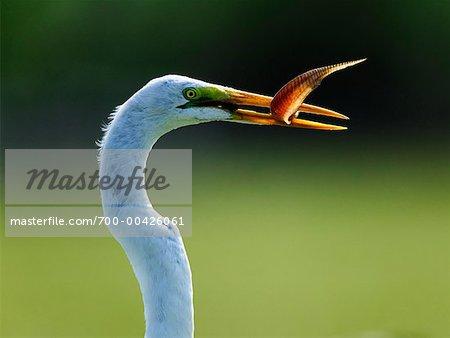 Great Egret with Fish in Beak