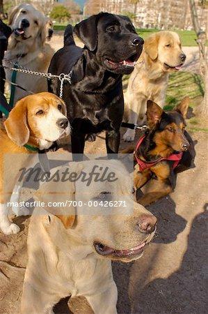 Professionnel Dog Walker