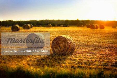 Bottes de foin dans les champs au coucher du soleil