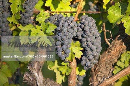 Raisins sur la vigne