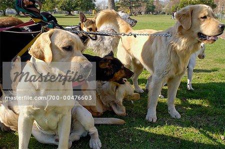 Groupe de chiens avec chien Walker, Buenos Aires, Argentine