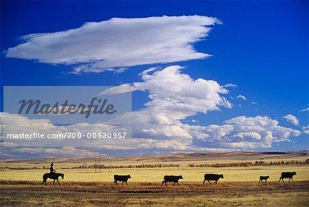 Silhouette of Cattle Drive, Alberta, Canada