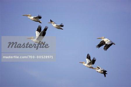 Pélicans en vol, Ding Darling Refuge faunique, île de Sanibel, Floride, USA