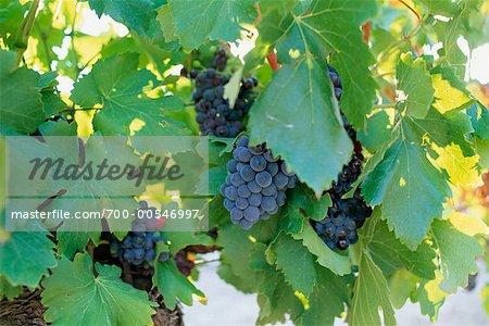Raisins sur la vigne, Var, Côte d'Azur, Provence, France