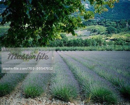Champ de lavande Alpes De Haute Provence, France