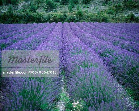 Champs de lavande, Vaucluse, Provence, France